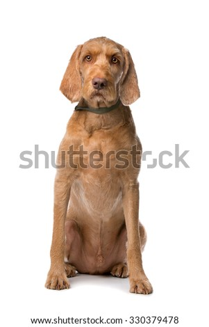 Wirehaired Vizsla dog in front of a white background - stock photo