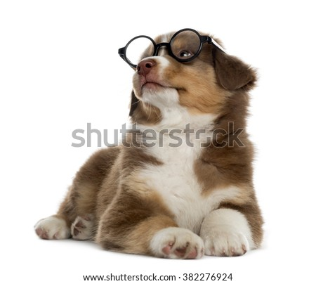 Wise Australian shepherd puppy wearing glasses lying down and looking up, isolated on white (2 months old) - stock photo