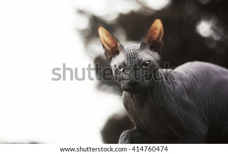wise black cat breed Don Sphynx is standing still and watching their surroundings in the gloom outside - stock photo