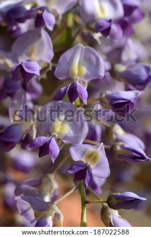 Wisteria,Blauregen - stock photo
