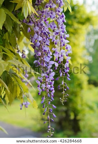 Wisteria blooming in summer garden ( Wisteria sinensis  Sweet) - stock photo
