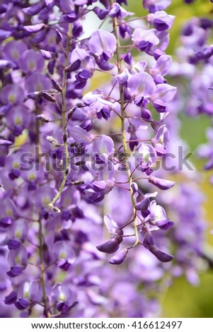 Wisteria blossoms in spring