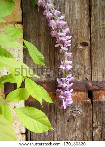 Wisteria flower in front of old wooden door - stock photo