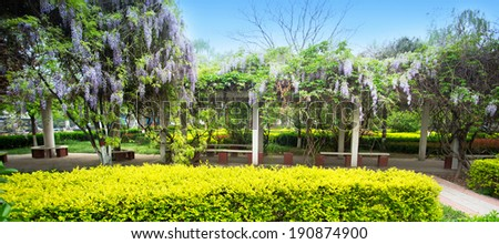 Wisteria flowers bloom in the spring lush park - stock photo