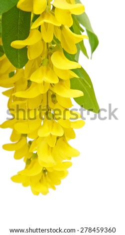 Wisteria flowers yellow acacia isolated on white background - stock photo