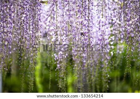 wisteria trellis - stock photo