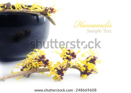 witch hazel in bloom and cream pot of black ceramic in the background, isolated on white, sample text hamamelis - stock photo