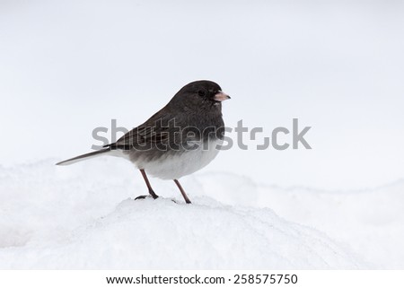 With its feet buried in a mound of snow, only the dark gray head and wings of this junco separate it from a snowy white background. - stock photo