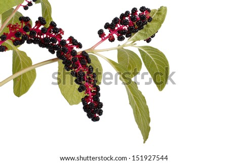 with poisonous pokeweed berries isolated on a white background - stock photo