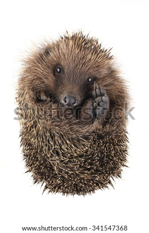 with raised paw hedgehog isolated on white background
