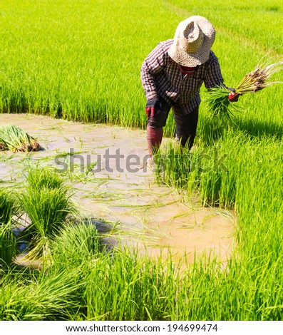 Withdrawal pulling rice seedlings strike hit in the leg to keep the soil from the roots