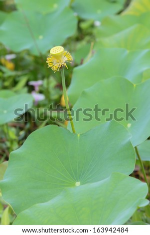 wither Lotus in the canal
