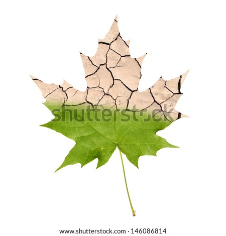 Wither maple leaf isolated on white - stock photo