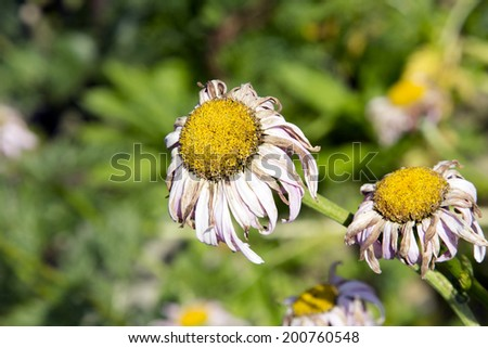withered daisies in the garden - stock photo