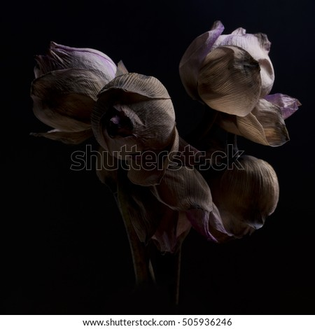 Withered flower lotus withered lotus on stock photo 505936246 withered flower lotus withered lotus on black background dried lotus flowers mightylinksfo