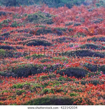 Withered heather flower texture on dunes in Brittany, France - stock photo