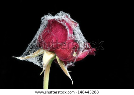 Withered rose covered with spider web - symbol of forgotten love, (manual focus) - stock photo