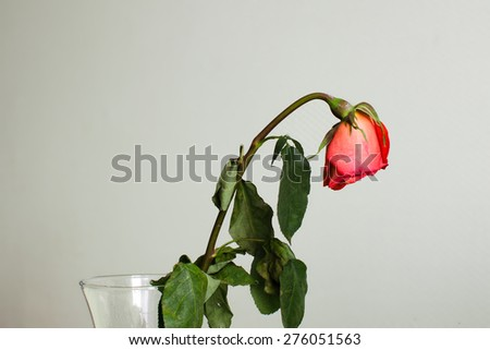Withered rose in a vase