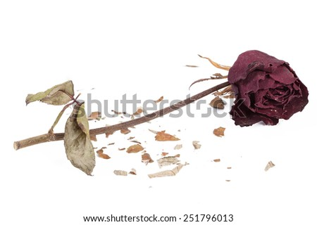 Withered rose on isolated white background
