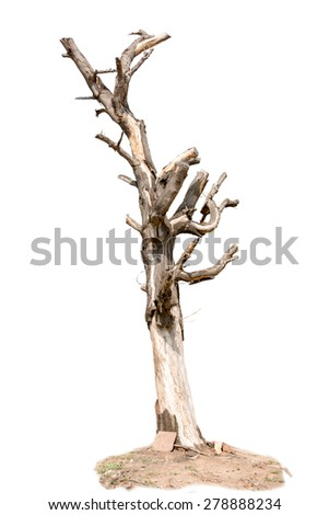 withered tree and cracked bark, isolate on white background