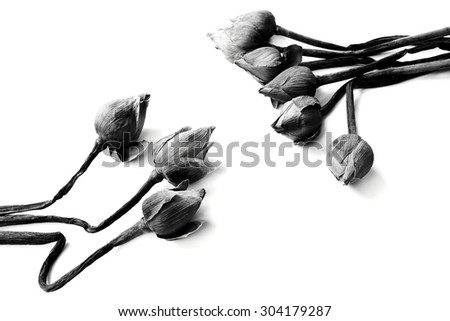 withered Water lily or lotus Flowers on black and white background color.