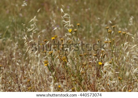 Withered wild flowers and overgrown dry oat straw plants. Spring turns to summer. - stock photo