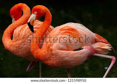 wo colorful flamingos  walking together - stock photo