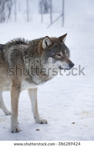 Wolf alone in the norwegian winter forest.Natural environment.