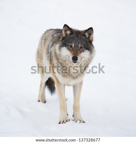 Wolf alone in the norwegian winter forest. Snowing.