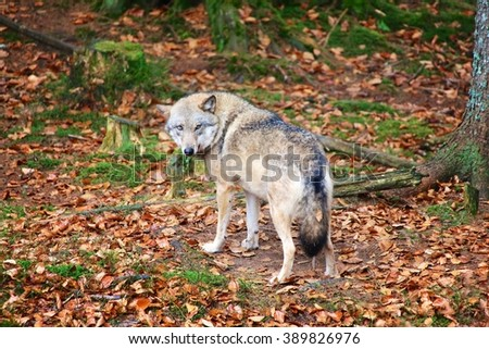 Wolf Germany wolf bavarian forest national park germany stock photo 389826976