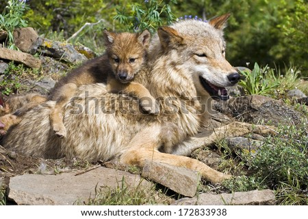 Wolf Cub And Mother At Den Site - stock photo