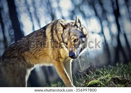 Wolf dog in the forest