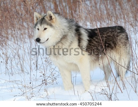 Wolf Dog in the Snow - stock photo