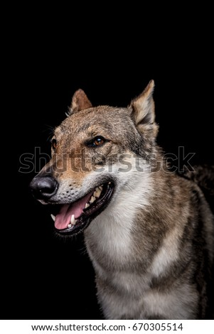 wolf dog on the black background