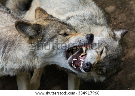 Wolf domination - stock photo