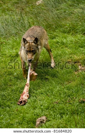 Wolf eating meat - stock photo