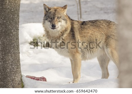Wolf eats meat in the snow