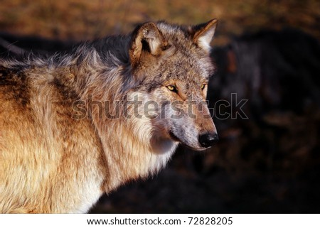 wolf facing the wind - stock photo