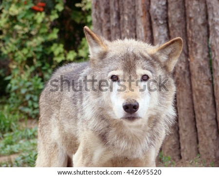 Wolf grey or ordinary Canis lupus in a zoo