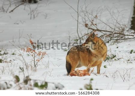 wolf has prey - stock photo