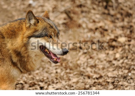Wolf head with open mouth from detail view - stock photo