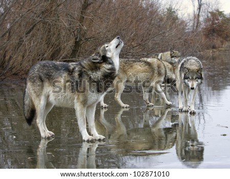 Wolf Howling with Pack mates - stock photo