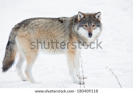 Wolf in a norwegian winter forest. Cold day, february. - stock photo