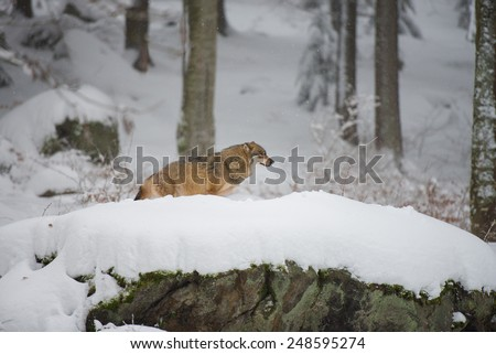 Wolf in a winterforest - stock photo