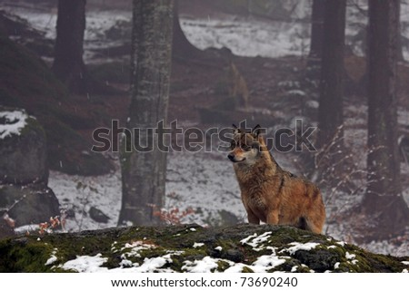 wolf in the Bavaria forest - stock photo