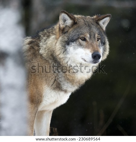 Wolf in the cold winter - stock photo