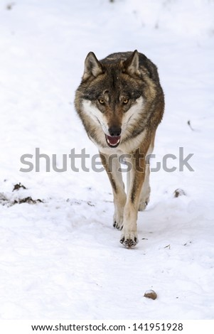 wolf is coming snow - stock photo