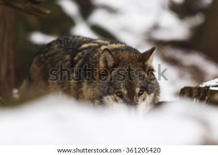 wolf is coming snow scenery - stock photo