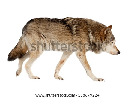 wolf. Isolated over white background  - stock photo