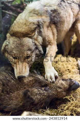 Wolf killing wild boar in the forest. Scenery. - stock photo
